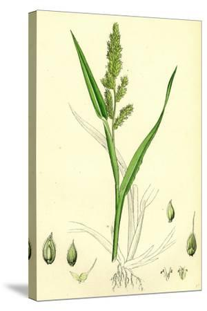 Echinochloa Crus-Galli Loose Panic-Grass--Stretched Canvas Print
