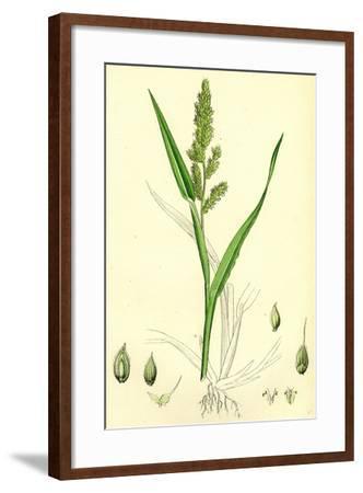 Echinochloa Crus-Galli Loose Panic-Grass--Framed Giclee Print
