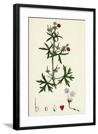 Geranium Dissectum Jagged Leaved Crane's-Bill--Framed Giclee Print