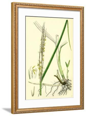 Spartina Alterniflora Many-Spiked Cord-Grass--Framed Giclee Print