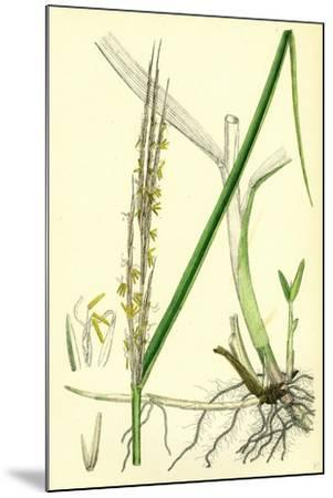 Spartina Alterniflora Many-Spiked Cord-Grass--Mounted Giclee Print