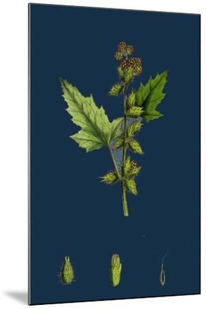 Chenopodium Vulvaria; Stinking Goosefoot--Mounted Giclee Print