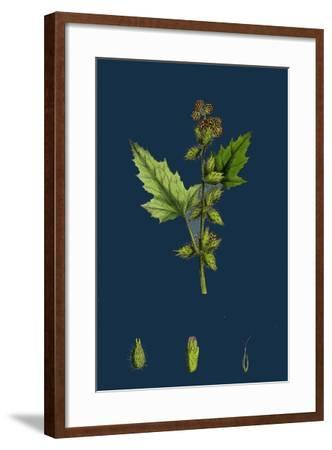 Chenopodium Vulvaria; Stinking Goosefoot--Framed Giclee Print