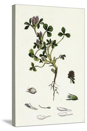 Trifolium Striatum Soft Knotted Trefoil--Stretched Canvas Print