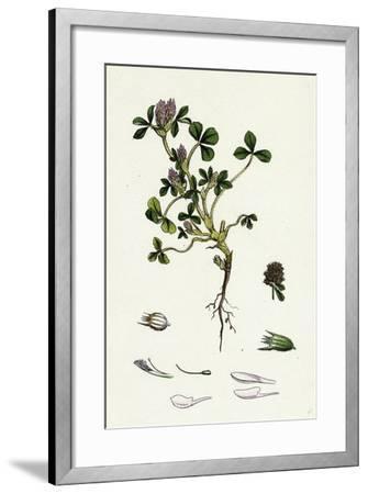 Trifolium Striatum Soft Knotted Trefoil--Framed Giclee Print