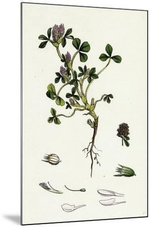 Trifolium Striatum Soft Knotted Trefoil--Mounted Giclee Print