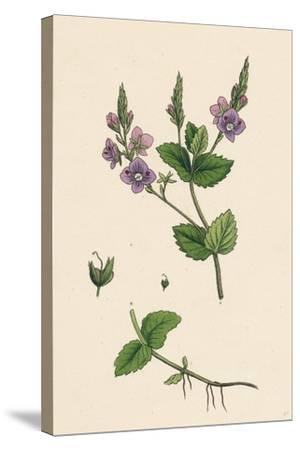 Veronica Chamaedrys Germander Speedwell--Stretched Canvas Print