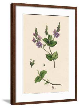 Veronica Chamaedrys Germander Speedwell--Framed Giclee Print