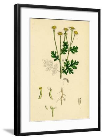 Chrysanthemum Parthenium Common Feverfew--Framed Giclee Print
