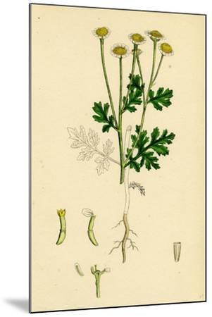 Chrysanthemum Parthenium Common Feverfew--Mounted Giclee Print