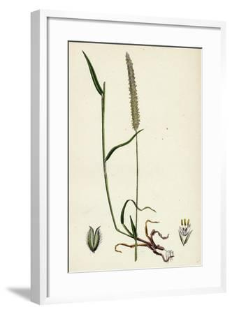 Phleum Böhmeri Purple-Stalked Timothy-Grass--Framed Giclee Print