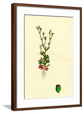 Saxifraga Tridactylites Rue-Leaved Saxifrage--Framed Giclee Print