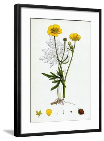 Ranunculus Eu-Acris Upright Meadow Crowfoot--Framed Giclee Print