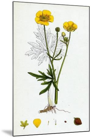 Ranunculus Eu-Acris Upright Meadow Crowfoot--Mounted Giclee Print