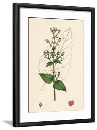 Scrophularia Scorodonia Balm-Leaved Figwort--Framed Giclee Print
