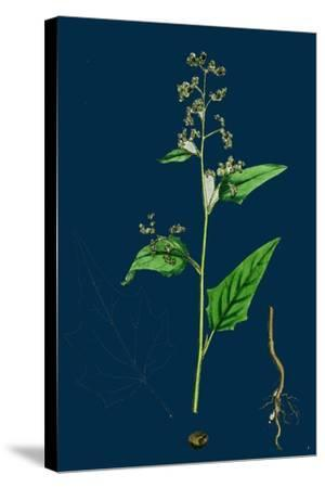 Hypochoeris Radicata; Long-Rooted Cat's-Ear--Stretched Canvas Print