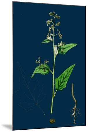 Hypochoeris Radicata; Long-Rooted Cat's-Ear--Mounted Giclee Print