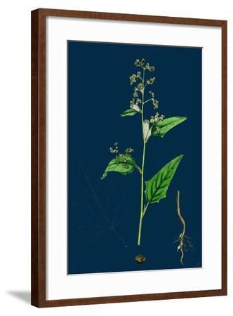 Hypochoeris Radicata; Long-Rooted Cat's-Ear--Framed Giclee Print
