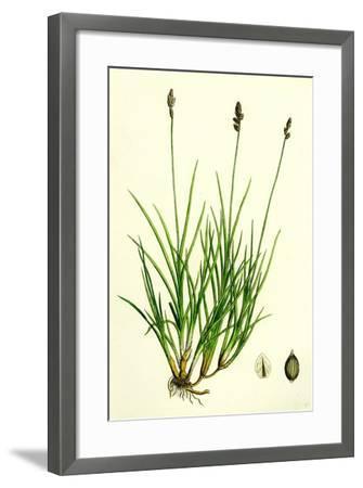 Carex Curta Var. Alpicola White Sedge Var. B--Framed Giclee Print