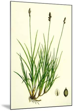 Carex Curta Var. Alpicola White Sedge Var. B--Mounted Giclee Print