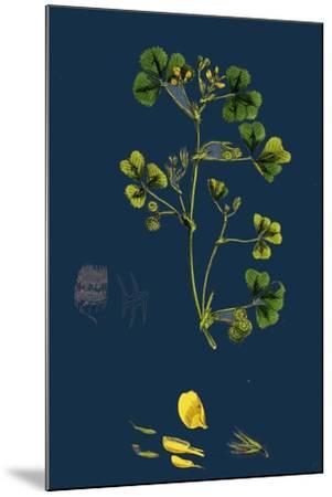Carex Paniculata; Greater Panicled Sedge--Mounted Giclee Print