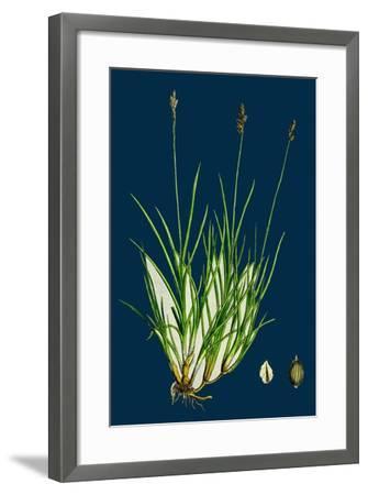 Anthyllis Vulneraria; Common Kidney Vetch--Framed Giclee Print