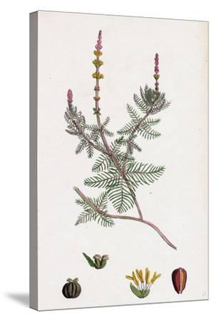 Myriophyllum Spicatum Spiked Water-Milfoil--Stretched Canvas Print