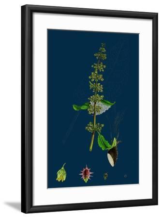Hieracium Pilosella; Mouse-Ear Hawkweed--Framed Giclee Print
