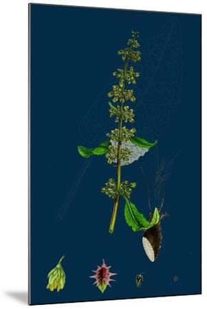 Hieracium Pilosella; Mouse-Ear Hawkweed--Mounted Giclee Print