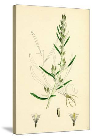 Gnaphalium Sylvaticum Upright Cudweed--Stretched Canvas Print