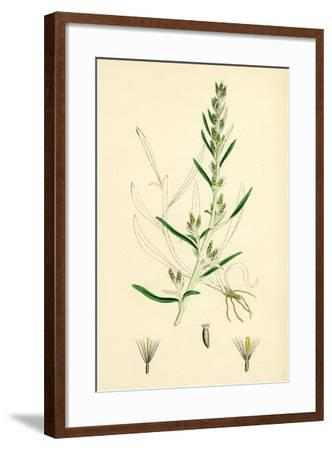 Gnaphalium Sylvaticum Upright Cudweed--Framed Giclee Print