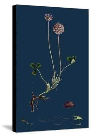Asperula Taurina; Four-Leaved Woodruff--Stretched Canvas Print