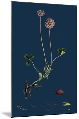 Asperula Taurina; Four-Leaved Woodruff--Mounted Giclee Print