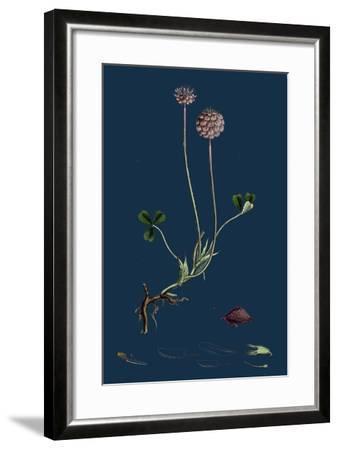 Asperula Taurina; Four-Leaved Woodruff--Framed Giclee Print