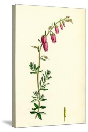 Menziesia Polifolia St. Dabeoc's Heath--Stretched Canvas Print