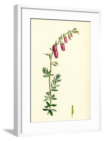 Menziesia Polifolia St. Dabeoc's Heath--Framed Giclee Print