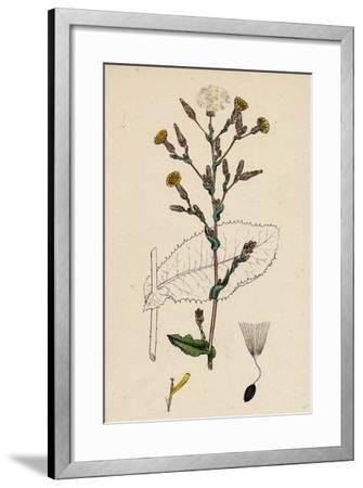 Lactuca Virosa Strong-Scented Lettuce--Framed Giclee Print