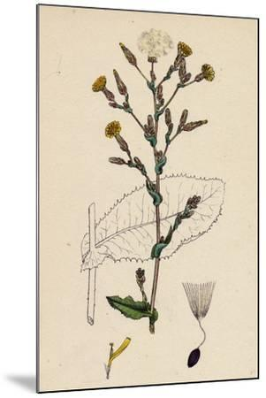 Lactuca Virosa Strong-Scented Lettuce--Mounted Giclee Print