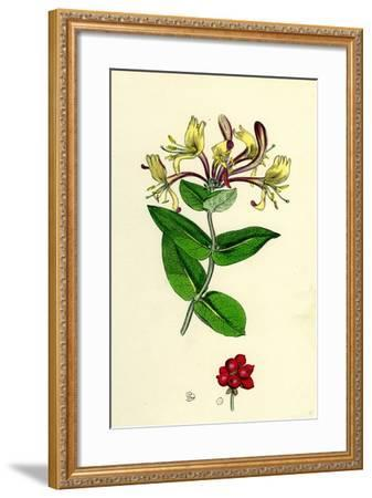 Lonicera Periclymenum Common Woodbine--Framed Giclee Print