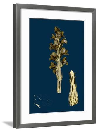 Orobanche Eu-Minor; Lesser Broom-Rape--Framed Giclee Print