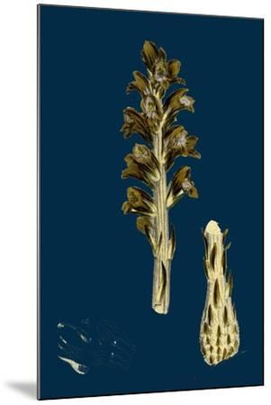 Orobanche Eu-Minor; Lesser Broom-Rape--Mounted Giclee Print