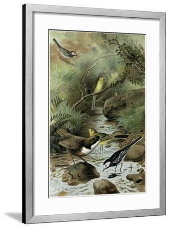 Dipper Pied Wagtail and Yellow Wagtail--Framed Giclee Print