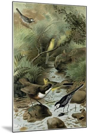 Dipper Pied Wagtail and Yellow Wagtail--Mounted Giclee Print