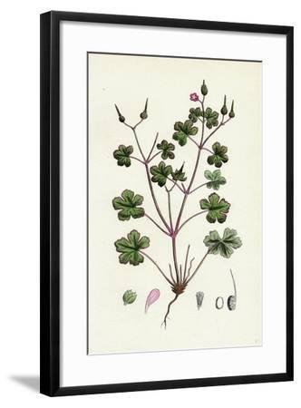 Geranium Lucidum Shining Crane's-Bill--Framed Giclee Print