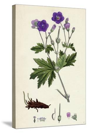 Geranium Sylvaticum Wood Crane's-Bill--Stretched Canvas Print