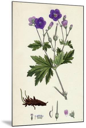 Geranium Sylvaticum Wood Crane's-Bill--Mounted Giclee Print