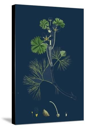 Rhamnus Catharticus; Purging Buckthorn--Stretched Canvas Print