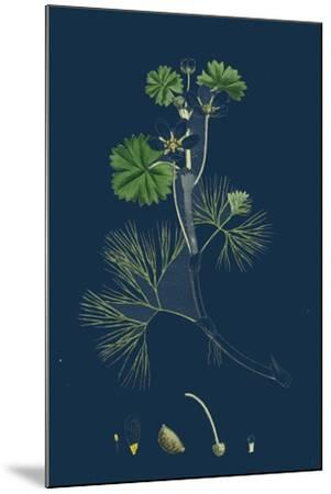 Rhamnus Catharticus; Purging Buckthorn--Mounted Giclee Print