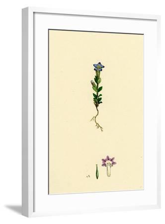 Gentiana Nivalis Small Alpine Gentian--Framed Giclee Print