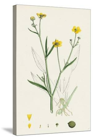 Ranunculus Eu-Flammula Lesser Spearwort--Stretched Canvas Print